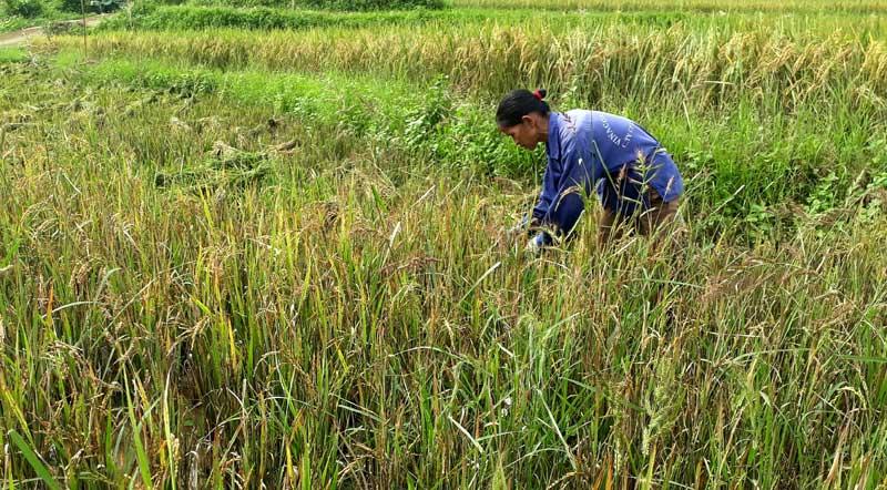 Mưa kéo dài, xót xa cây lúa nảy mầm trên bông