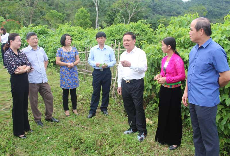 Huyện Tân Lạc cần có định hướng nhân rộng diện tích trồng cây SaChi