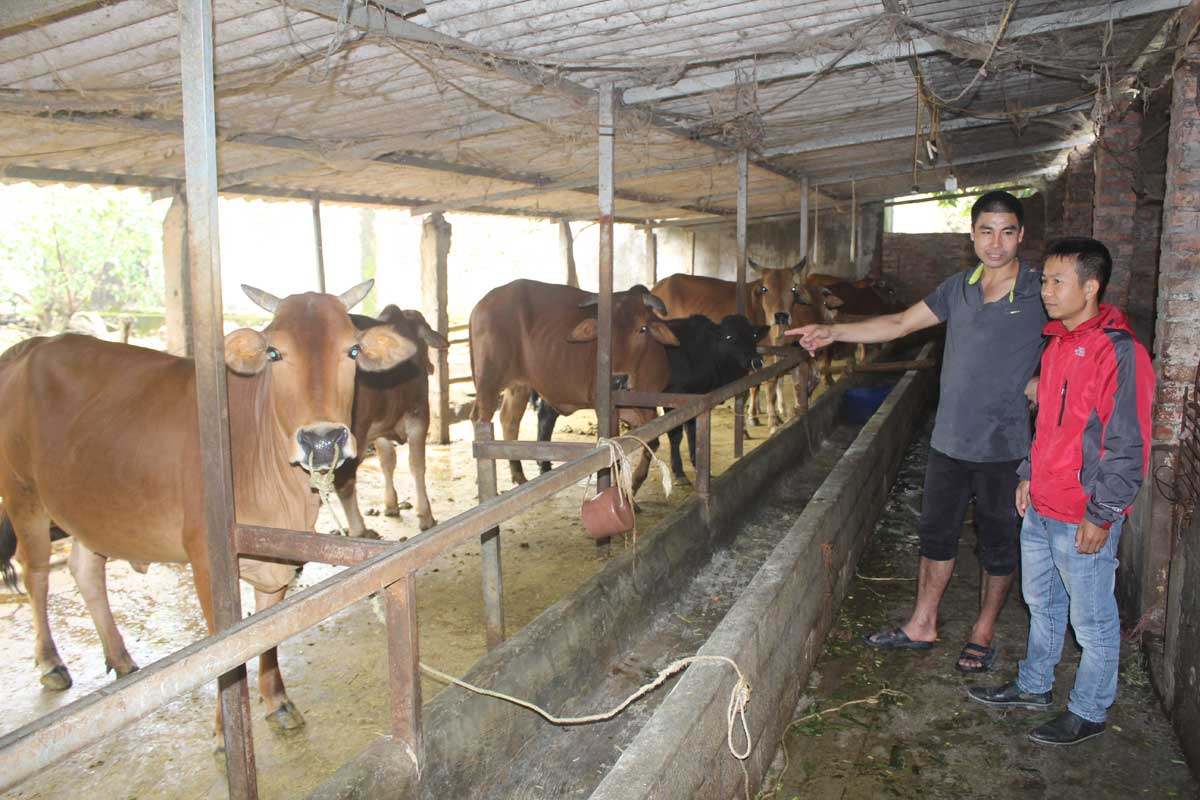 Huyện Đà Bắc phát triển chăn nuôi đàn gia súc