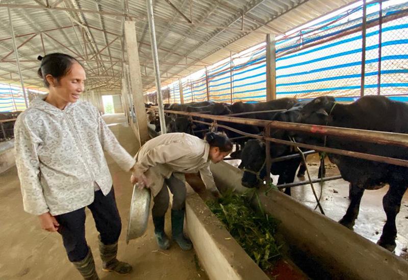 Bà Đặng Thị Vân, thôn Voi, xã Hưng Thi (Lạc Thủy) thu lợi nhuận tiền tỷ từ mô hình trại bò trăm con.