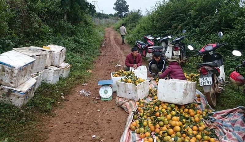 Giá cam Cao Phong tăng mạnh - nhà vườn đón niềm vui cuối vụ