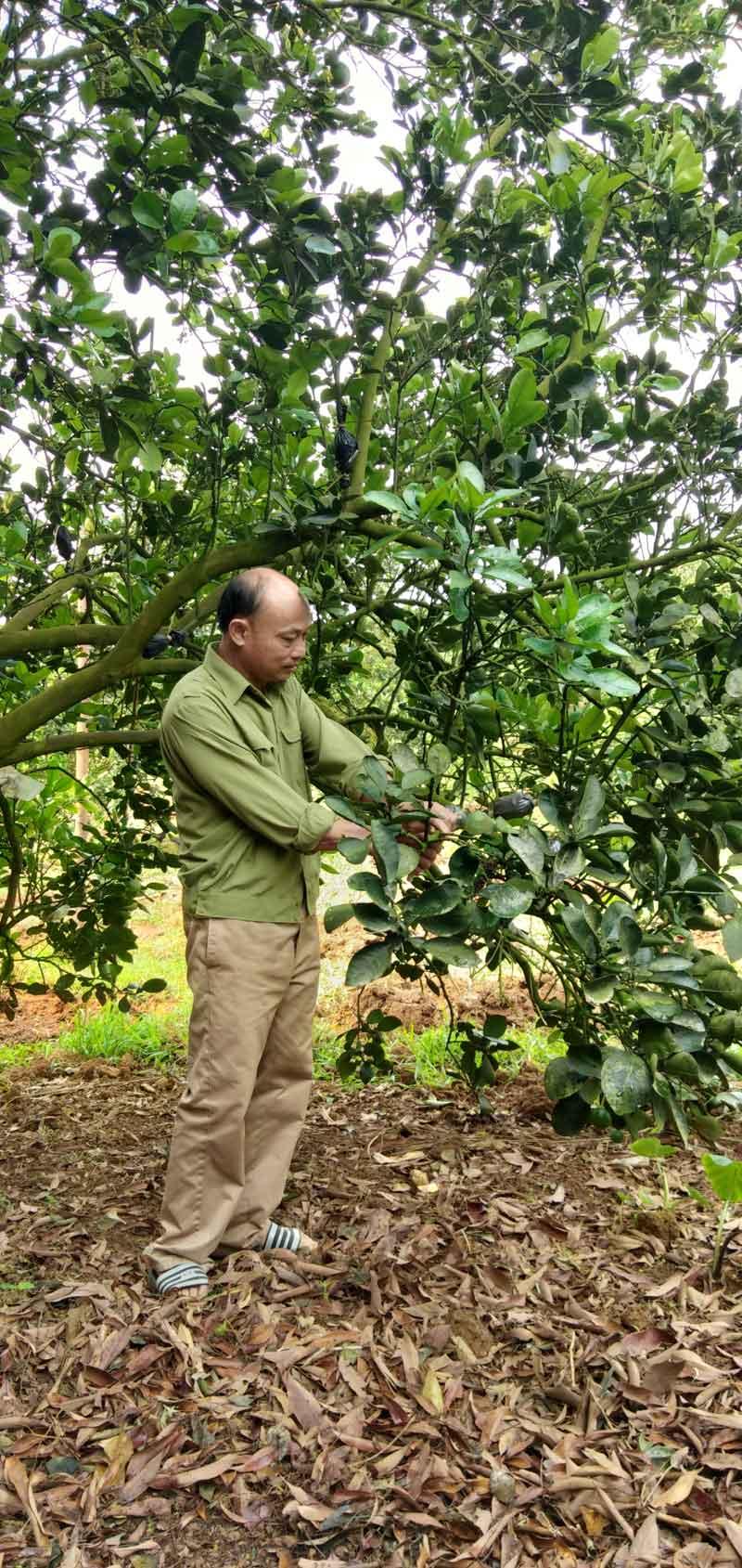 Ông Bùi Văn Khượng, xóm Trang Trong,xã Tân Phong (Cao Phong) chăm sóc vườn cam.
