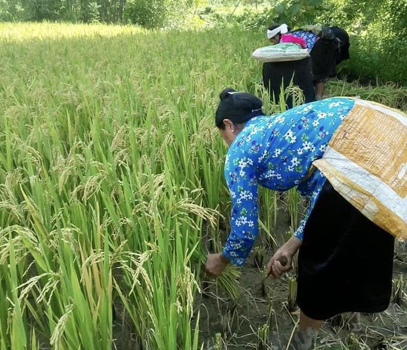 Nâng cao danh tiếng sản phẩm gạo J02 Đà Bắc